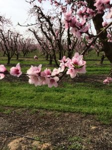 Carson Bloom Peaches 3-4-2016