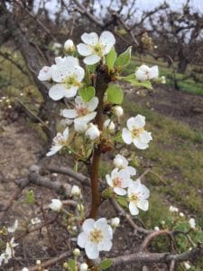 White Buds and Full Bloom Pears 3-4-2016