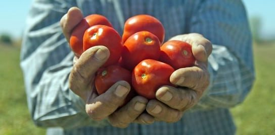 Tomatoes in Grower's Hands