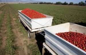 Tomatoes in Truck