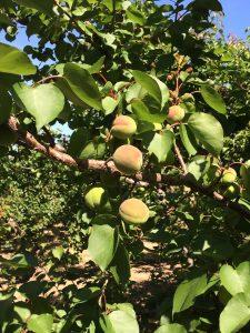 Apricots 4-22-16