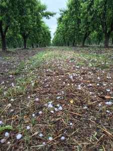 Hail on Peach Orchard Floor 5-6-16