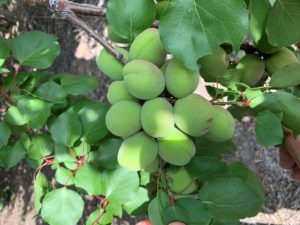 Apricots crop report May 24, 2019