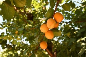 athwal apricot orchard in westley ca